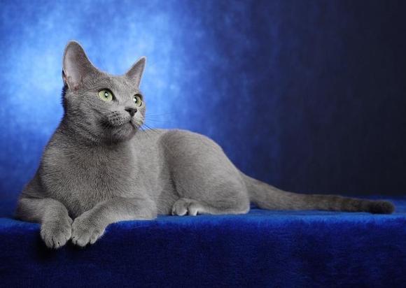 Výsledek obrázku pro ruská modrá kočka
